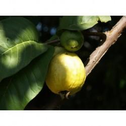 Guayaba Limón en maceta grande