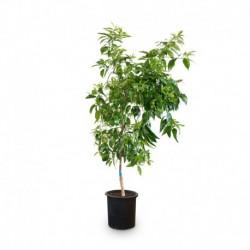 Mandarino Nova en maceta mediana de 25cmø