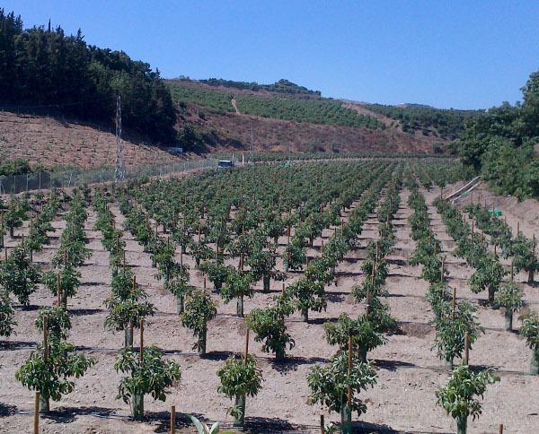 Plantación alta densidad de aguacate