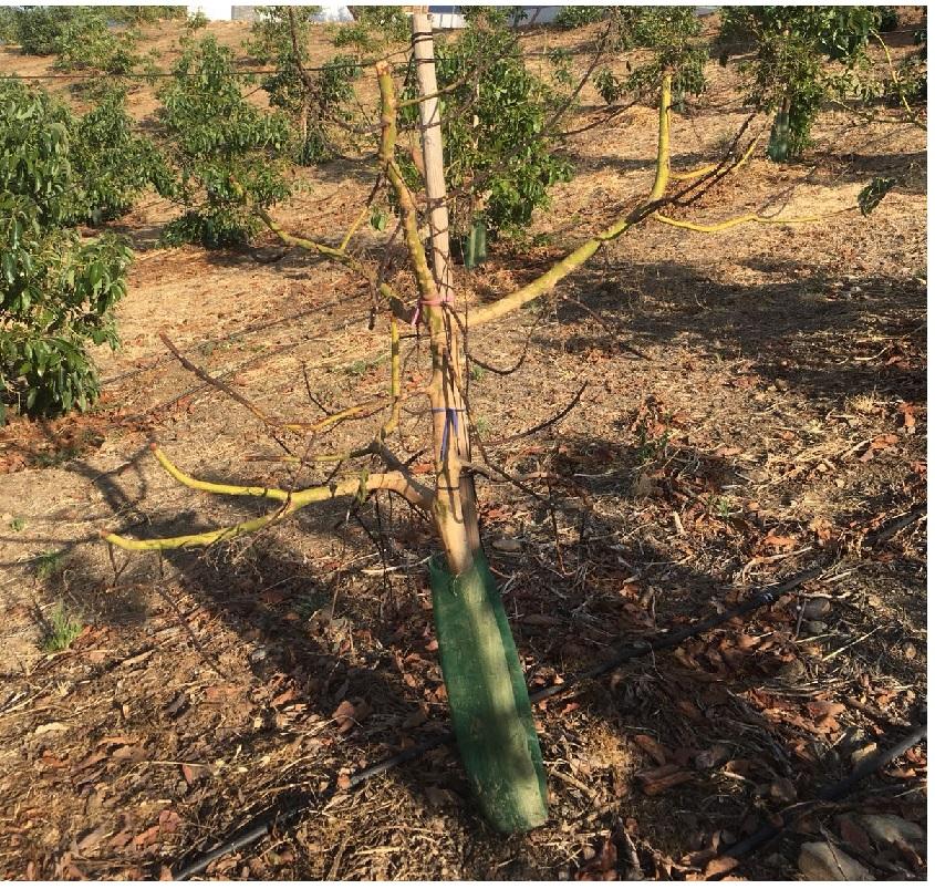 Árbol de aguacate con ramas secas debido a la muerte regresiva. Enfermedad provocada por hongos aéreos.