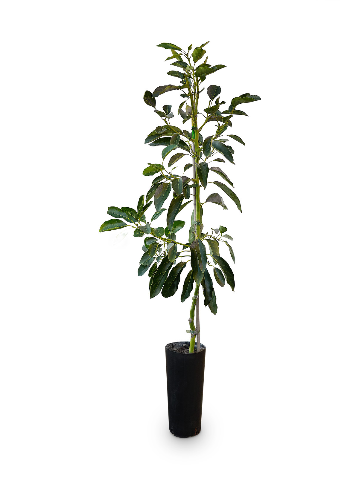 Planta de Aguacate Clonal con maceta en vivero