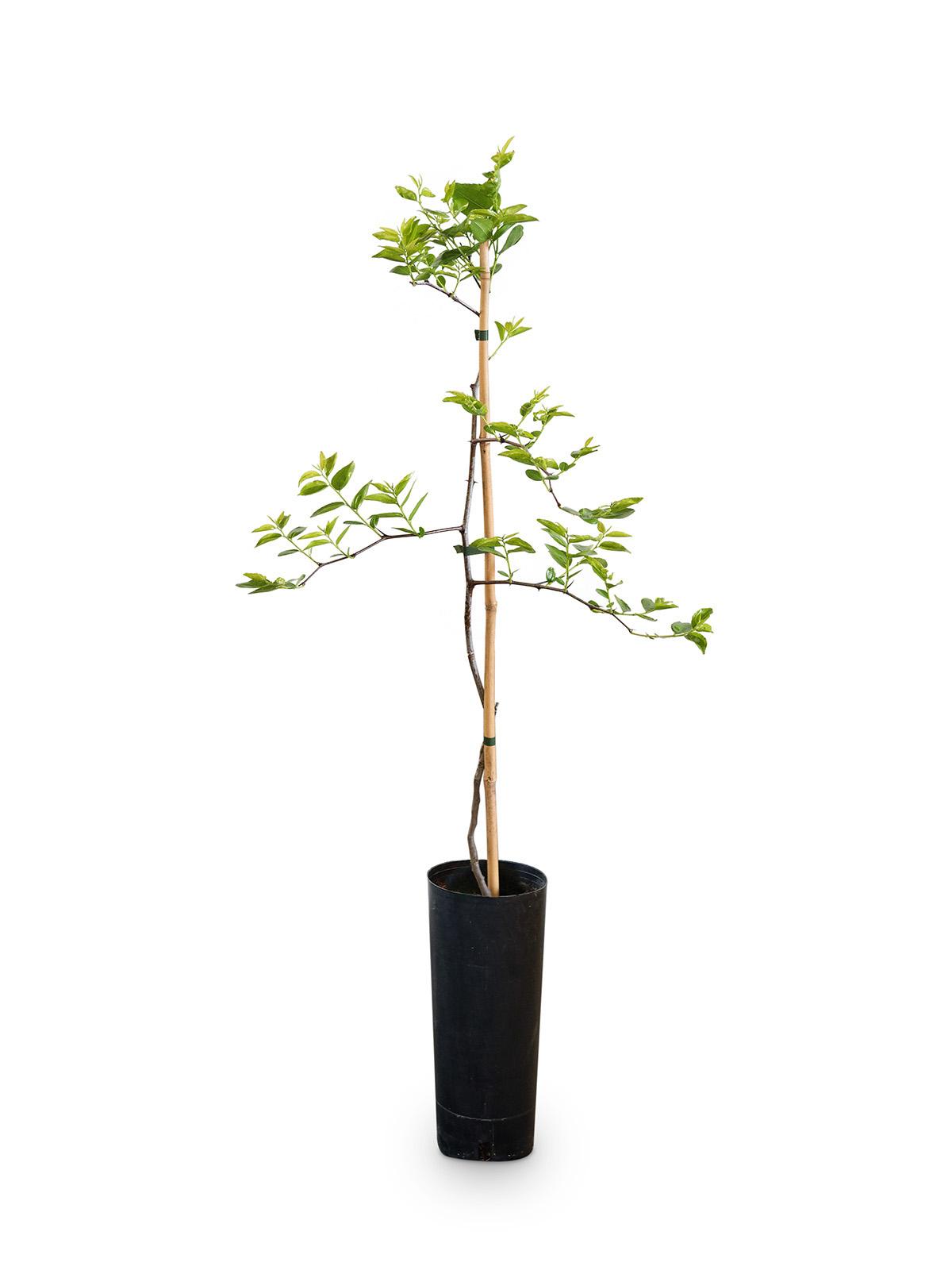 Planta de Azufaifo con maceta en vivero