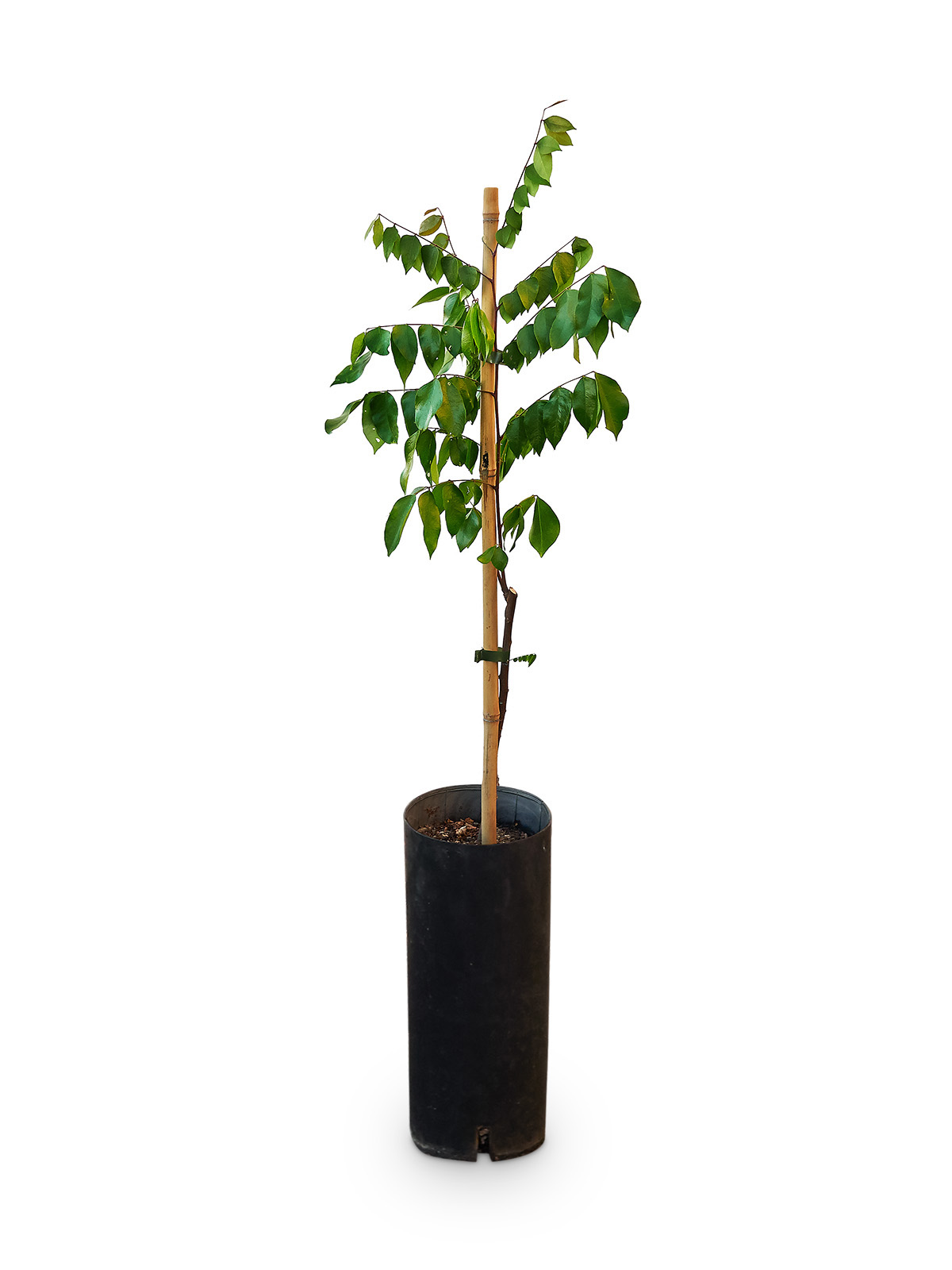 Planta de Carambola con maceta en vivero