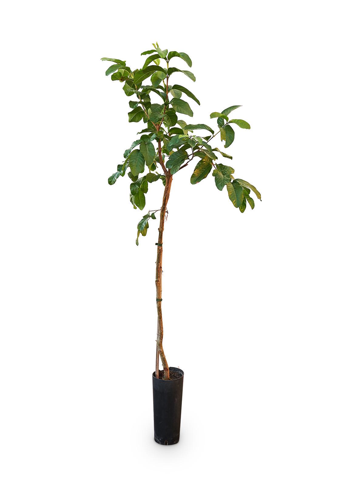 Planta de Guayaba Limón con maceta en vivero