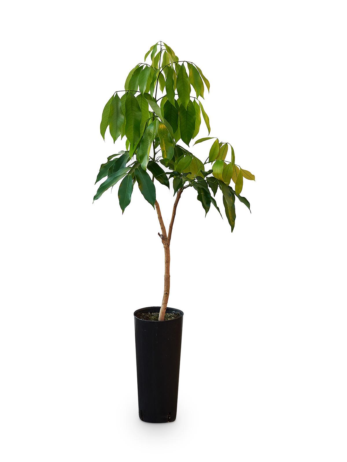 Planta de Litchi con maceta en vivero