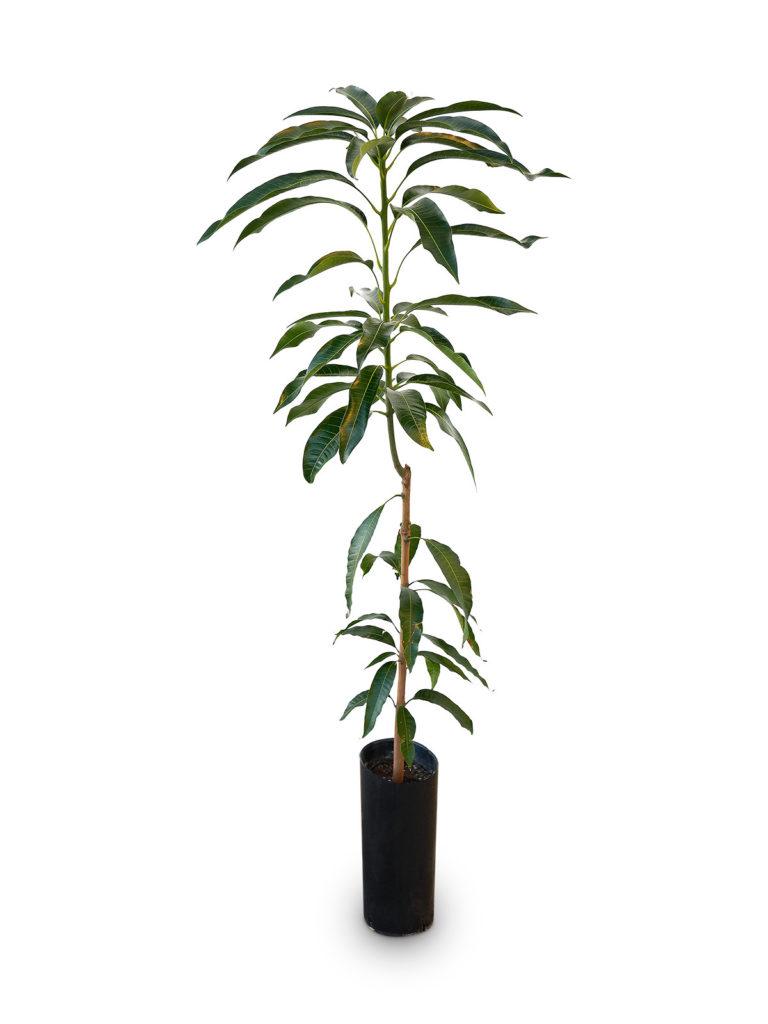 Planta de Mango con maceta en vivero