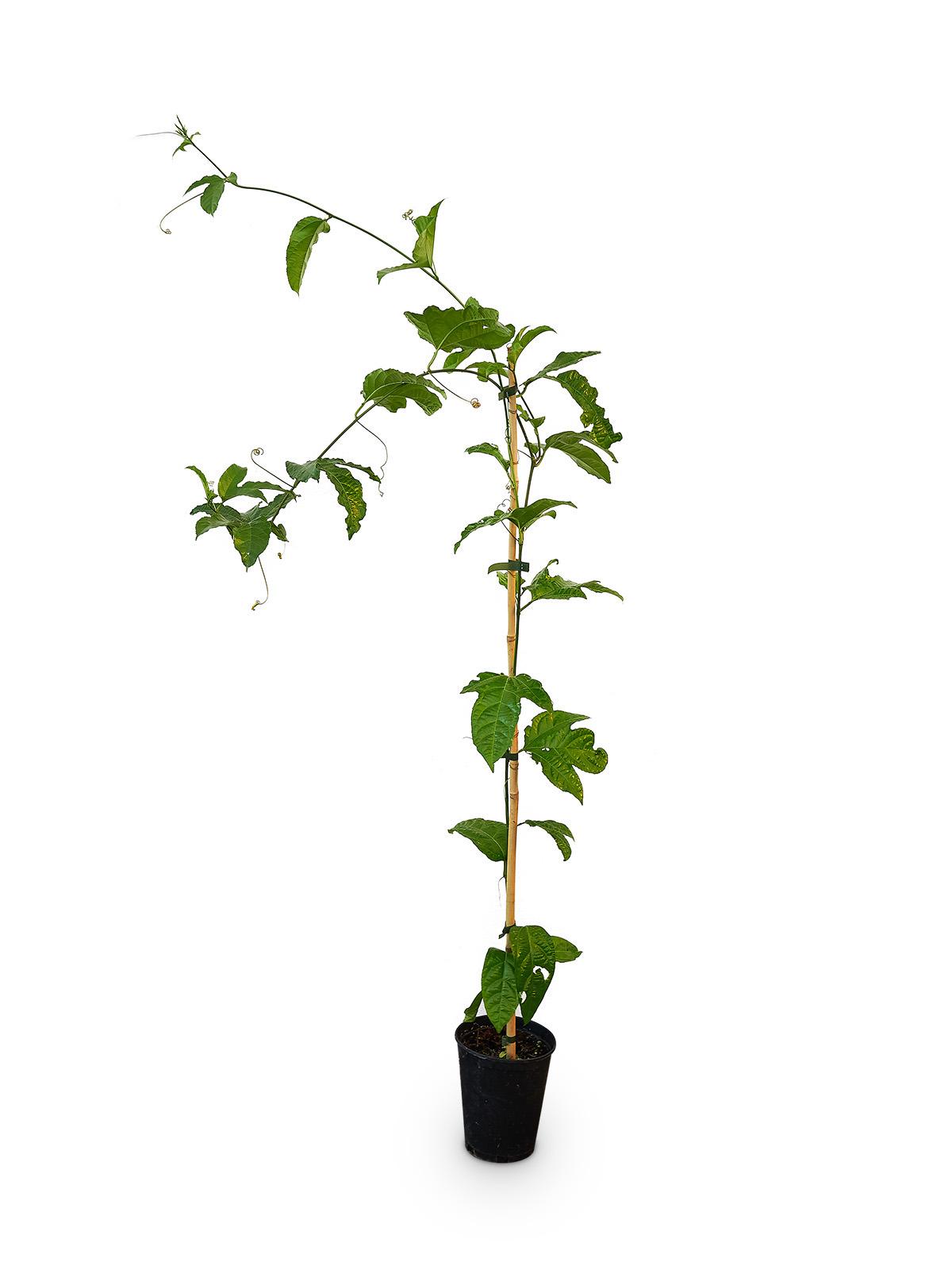 Planta de Pasiflora con maceta en vivero