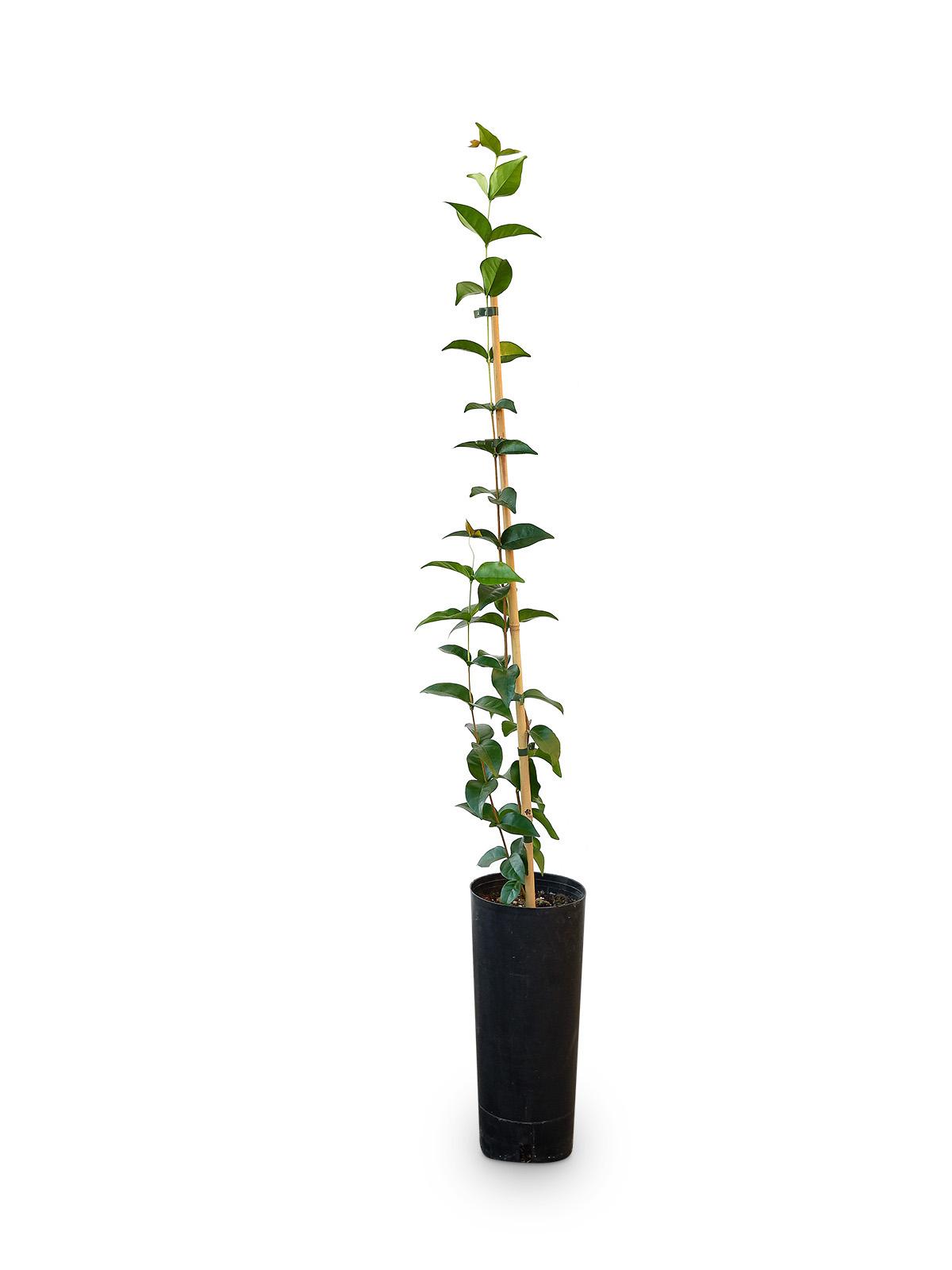 Planta de Pitanga con maceta en vivero
