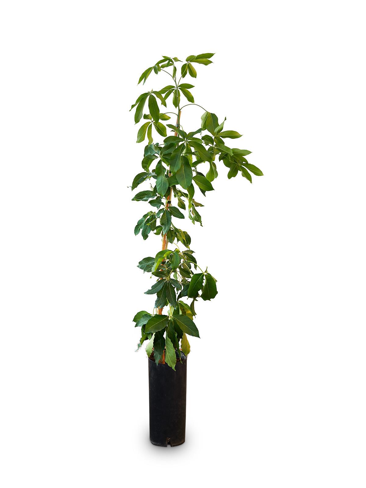 Planta de Zapote con maceta en vivero