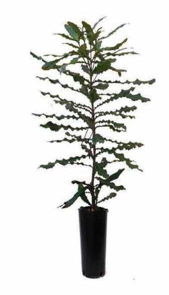 Planta de Macadamia con maceta en vivero